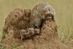 Mother and young banded mongoose on termite mound, Serengeti National Park, Tanzania, Africa.
