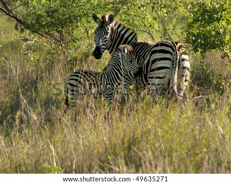 Mother and young zebra in African bush at sunset