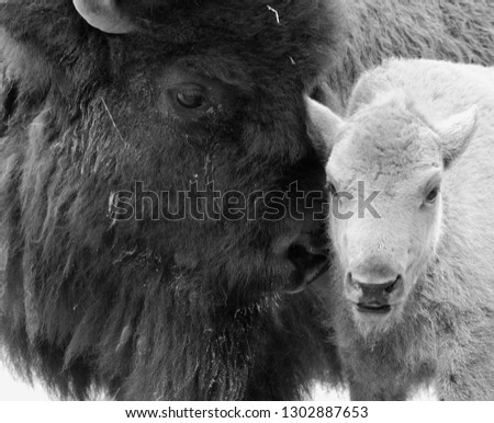 Mother & baby American bison or simply bison, also  known as the American buffalo or simply buffalo, is a North American species of bison that once roamed the grasslands of North America in vast herds