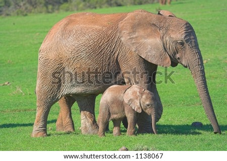 Mother & Baby Elephant walking on the african plains