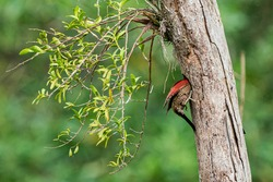 Mother banded woodpecker entering her next to feed babies.