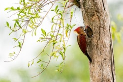 Mother banded woodpecker feeding her baby chicks