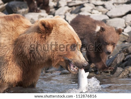 mother bear catches salmon for cub