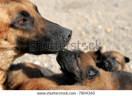 stock photo mother belgian shepherd malinois and her young puppies