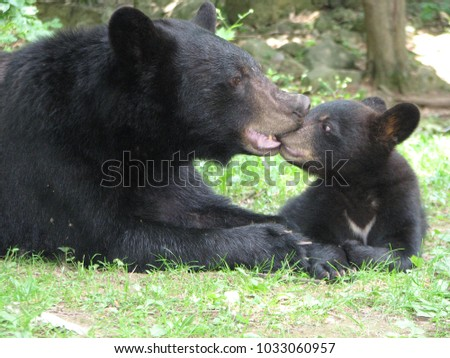 Mother black bear nurturing her cub