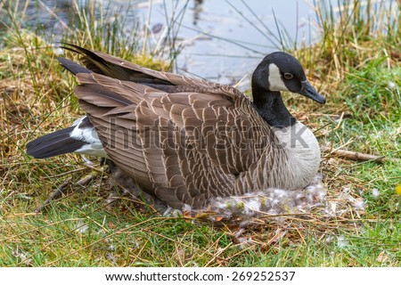 Canada Goose hats sale discounts - Mother Canada Goose Sitting On A Nest Incubating Her Eggs Beside ...