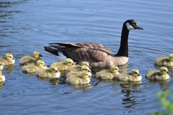 Mother Canada Goose with flock of chicks goslings swimming in pond