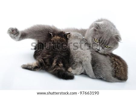 Mother cat feeding her kittens. Scottish folded eas breed. Studio shot.