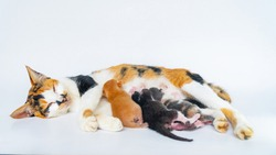 Mother cat is Nursing a 4 Day Old Kitten in White Background