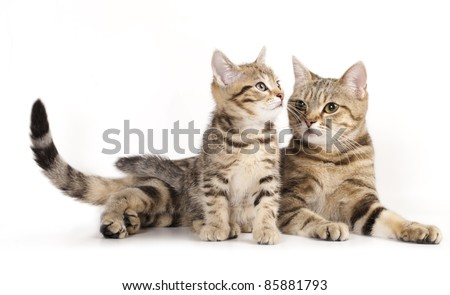 Mother cat licking little kitten's, a European breed - stock photo