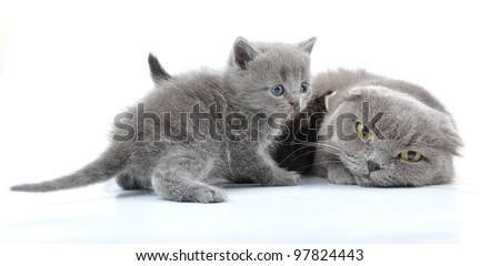 Mother cat with her kittens. Scottish folded eas breed. Studio shot.