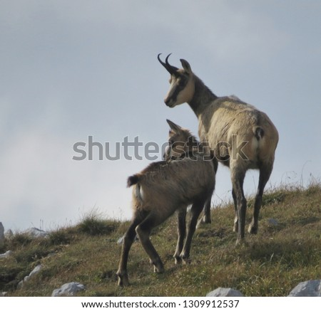 mother chamois with baby