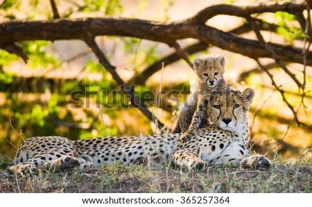 Mother cheetah and her cub in the savannah. Kenya. Tanzania. Africa. National Park. Serengeti. Maasai Mara. An excellent illustration.