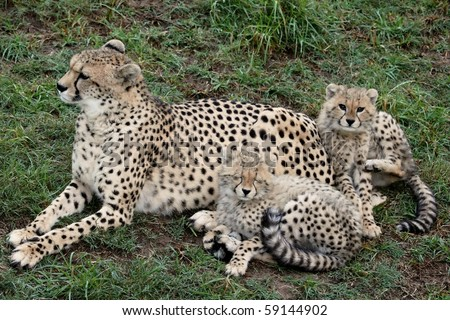 Mother cheetah on the lookout with two young cubs #59144902