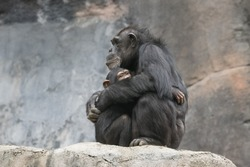 Mother Chimpanzee and her baby embracing