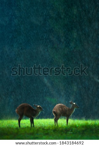 Mother common barking deer and fawn grazing on the green grassland in the rain. Khao Yai National Park, Thailand, UNESCO World Heritage Site. Selective focus. stock photo