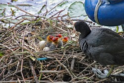 Mother coot feeds her young who have just hatched from their eggs.