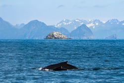 Mother (cow) and baby (calf) Humpback whales (Megaptera novaeangliae) swim through the waters off the shore of Seward, Alaska with a small island and big mountains in the background