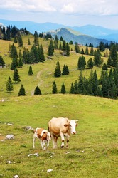Mother cow and calf at Velika planina / Big Pasture Plateau in Slowenia, Europe