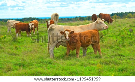Mother Cow With Her Calf