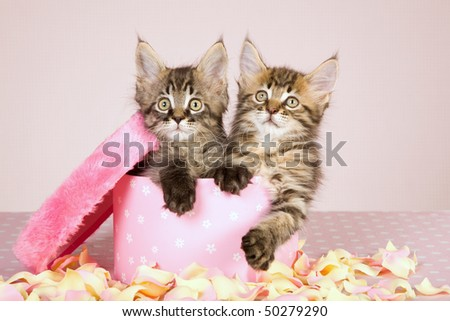 Mother Day gift Maine Coon kittens in round pink box with petals