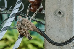 Mother Dove and her baby Dove relaxing on a electricity wire. Two Doves perched on a wire. Columbidae bird family. Zebra dove or peaceful dove (Geopelia Striata) a common bird in Thailand.