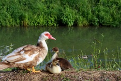Mother duck and two small brown ducklings outdoors next to the river. Ducklings with their mother are sitting near a pond in a green city park.