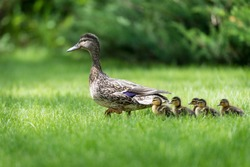 Mother duck leading her ducklings through a grass field