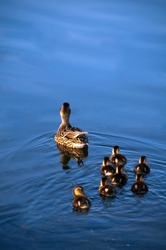 Mother Duck Leading Young to Safety