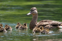 mother duck ( mallard duck, anas platyrhynchos ) with ducklings swimming on lake surface
