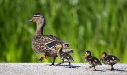 mother duck with baby