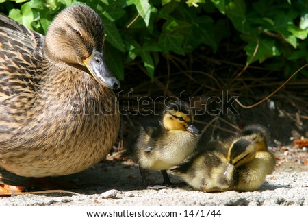 Mother duck with baby ducklings