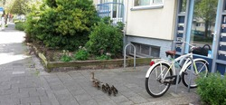 Mother duck with ducklings walking on the street.