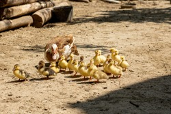 Mother duck with her ducklings. There are many ducklings following the mother