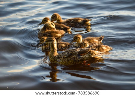 mother duck with six baby...
