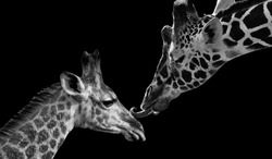 Mother Giraffe Kiss Her Cute Baby Giraffe