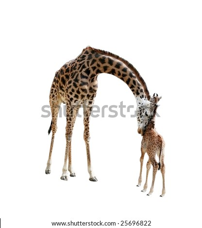 mother giraffe nuzzling baby with clipping path
