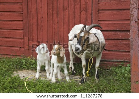 Mother goat and two baby kid goats