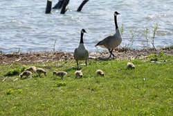 mother goose and her gosling baby geese enjoy a sunny day on the lake