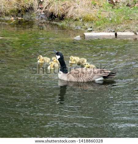 Mother goose and her goslings  under the protection of her wings and swimming together a picture of parenting.
