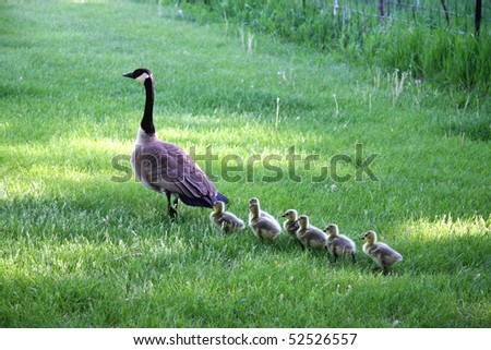 Mother goose leads gosslings across field toward water.