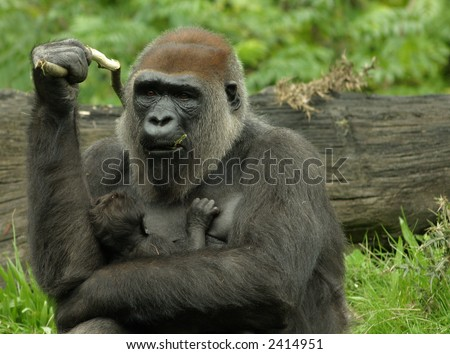 Mother-gorilla with new-born baby