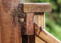 Mother Grass Spider with her scores of innumerable just hatched baby spiders in a web located on a wood deck hand rail.