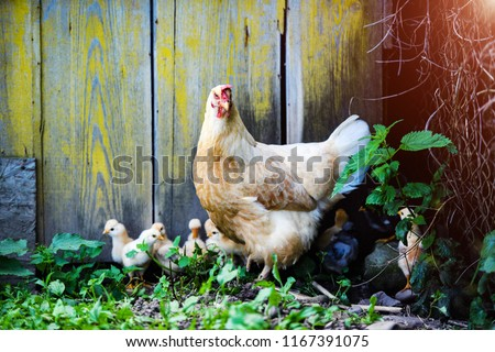 Mother Hen and Protecting Chicks #1167391075