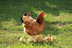Mother hen with chickens in a rural yard. Chickens in a grass in the village against sun photos. Gallus gallus domesticus. Poultry organic farm.Sustainable economy.Natural farming.Free range chickens.