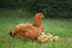 Mother hen with her chicks in the field. Hen with chickens in a rural yard. Gallus gallus domesticus. Poultry organic farm. Chicken on a farm, free range, antibiotic and hormone free farming.