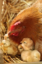 Mother Hen with newborn chickens in the nest.