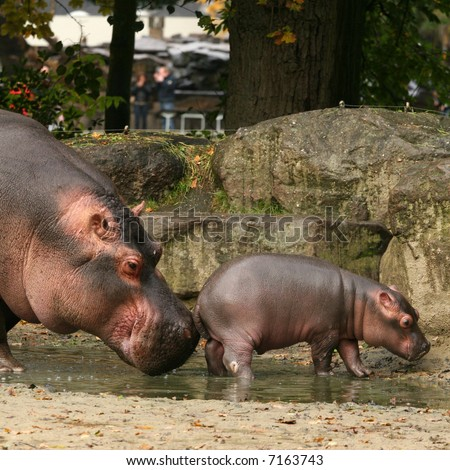 Mother hippo touching baby with her nose