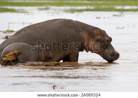 mother hippo with young baby