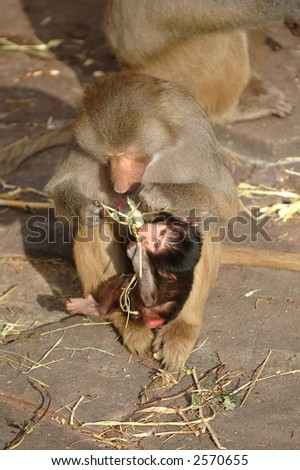 Mother is feeding her monky baby